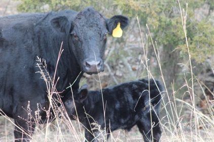 Cow 206 with Bull Calf